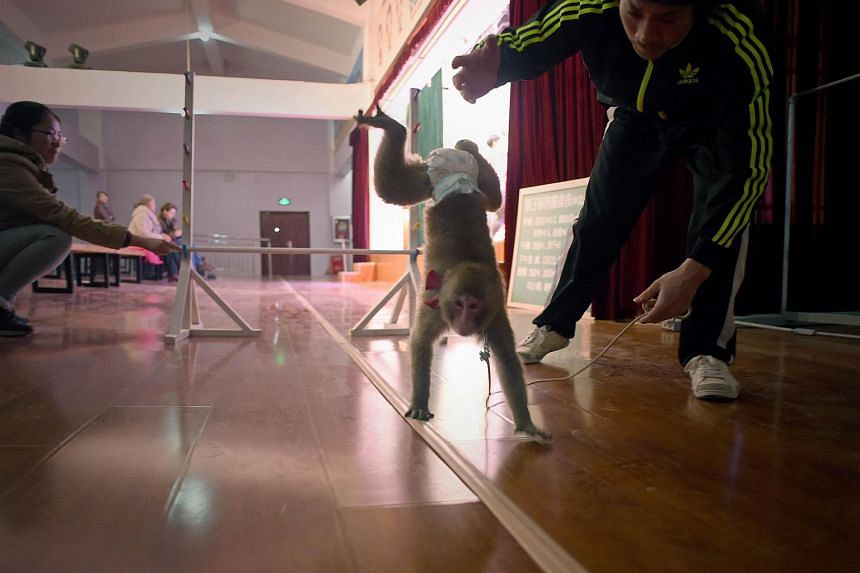 A trainer from Japan guides a monkey to walk using its arms at a monkey training school in China's Shandong province, on Jan 26, 2016.