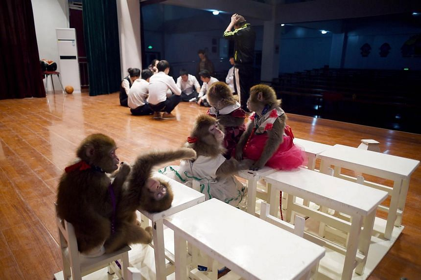 Monkeys resting as their trainers have a meeting at a monkey training school in China's Shandong province on Jan 26, 2016.
