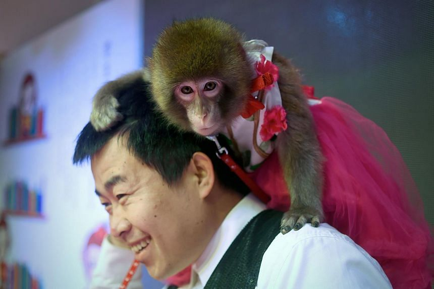 A monkey sits on a trainer's shoulder during a performance rehearsal at a monkey training school in China's Shandong province on Jan 26, 2016.