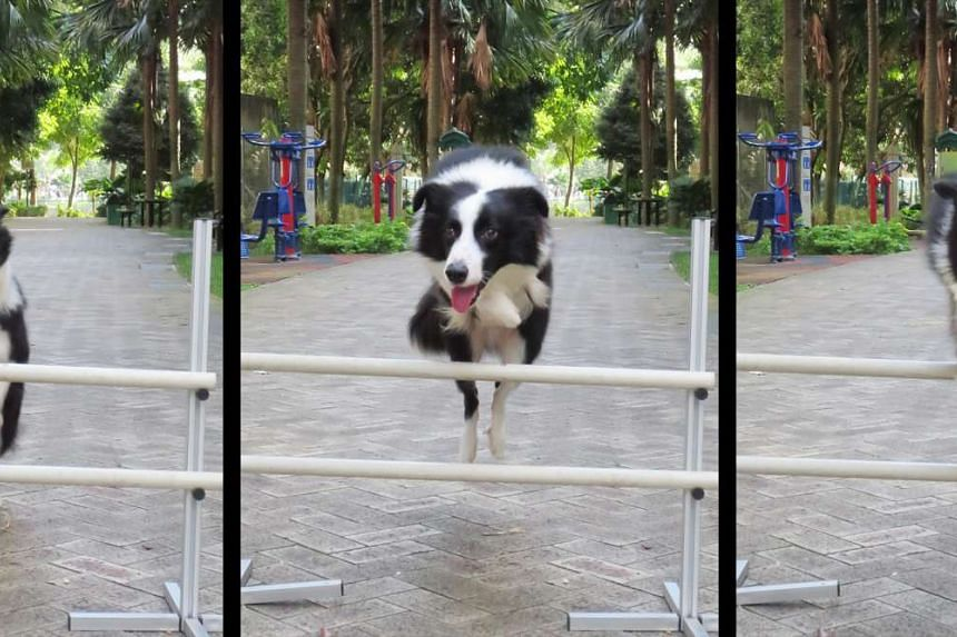 Sheppi, the border collie, caught in action as it jumps over an obstacle.