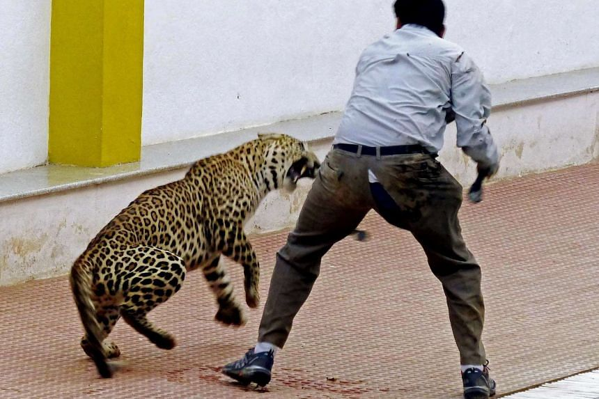 A leopard attacking a forest official at a school in Bangalore, India, on Feb 7, 2016.