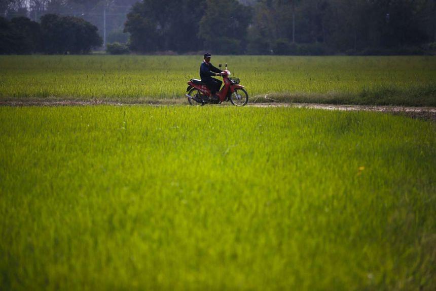 Thai farmer Somnuek Hongthong rides past a rice field in Sing Buri Province, Thailand, on Feb 1, 2016.