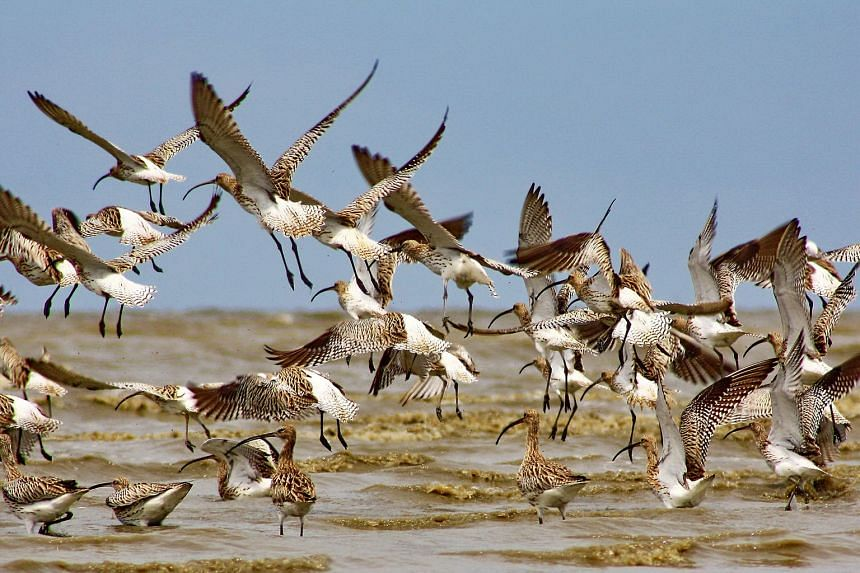 A large flock of Eurasian Curlews in Eastern Sumatra. With their favourite haunts in Indonesia and East Malaysia badly hit by the haze crisis last year, migratory birds were forced to disperse more widely to search for food.