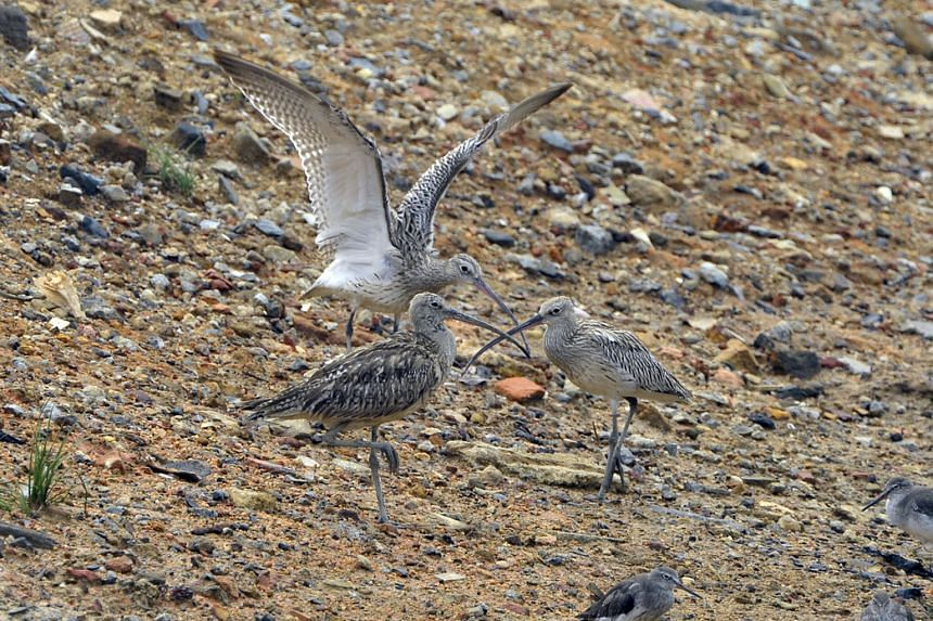 Three Eurasian Curlews were among the uncommon visitors spotted at the wetland reserve last September.