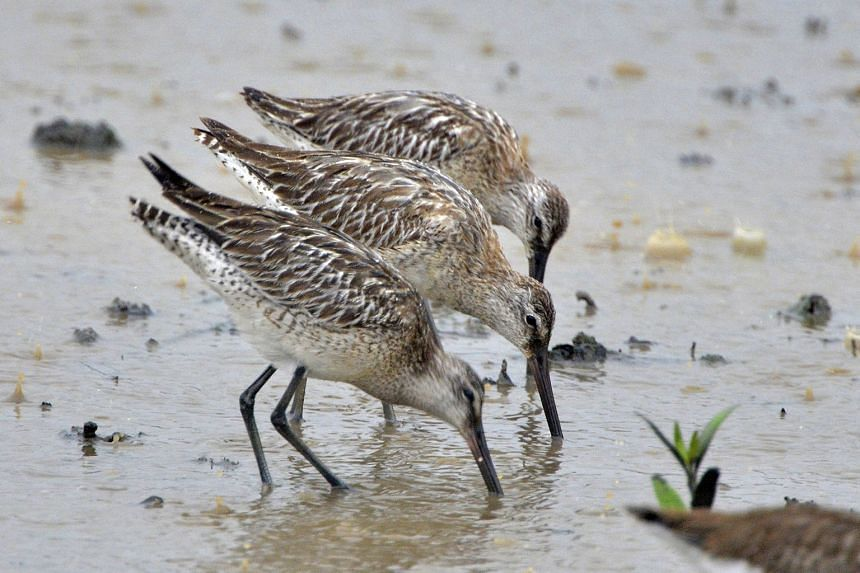 Three of the seven Asian Dowitchers that made a stopover at the Sungei Buloh Wetland Reserve in September last year.
