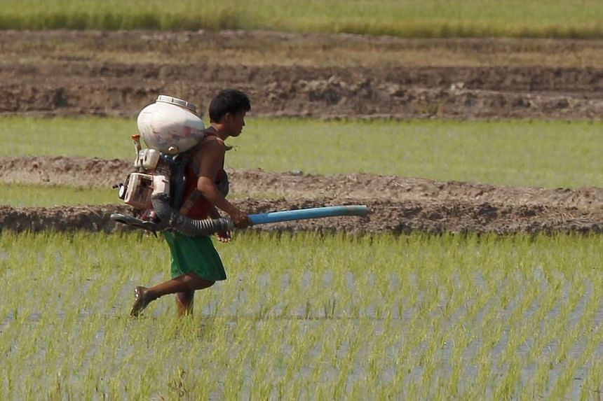 A farmer spraying pesticide over his rice field in Nakhonsawan province, north of Bangkok. The agricultural labour force is a key political battleground, with rubber farmers in the south generally backing the Bangkok-based royalist-military establish