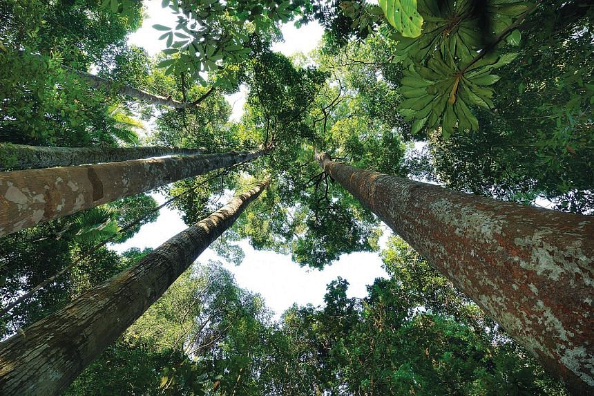 The giant forest trees in the Bukit Timah and Central Catchment nature reserves.