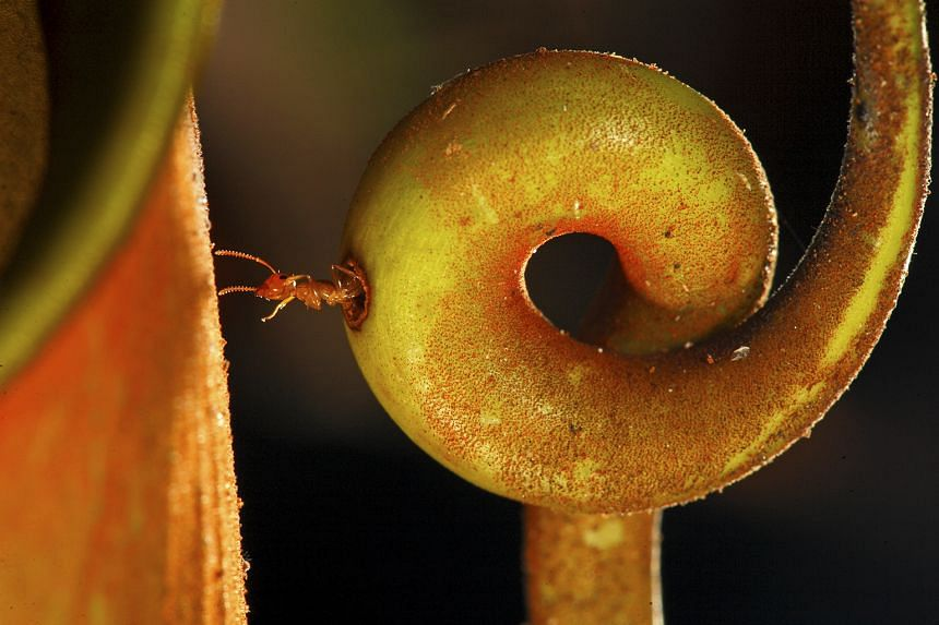 SECOND PRIZE, NATURE, STORIES: A colony of ants lives inside the stem of this plant, foraging inside the pitcher for insects. They are resistant to the plant's digestive juices, and can swim in the liquid without being harmed. The ants take only la