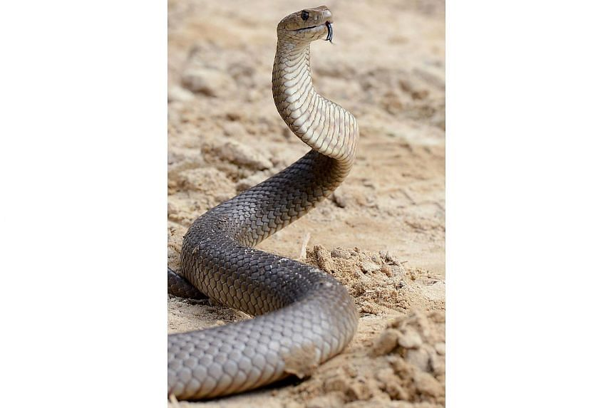 A young girl in Australia has died after being bitten by an Australian eastern brown snake.