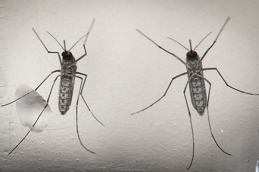 Aedes aegypti mosquitoes that transmit the Zika virus.