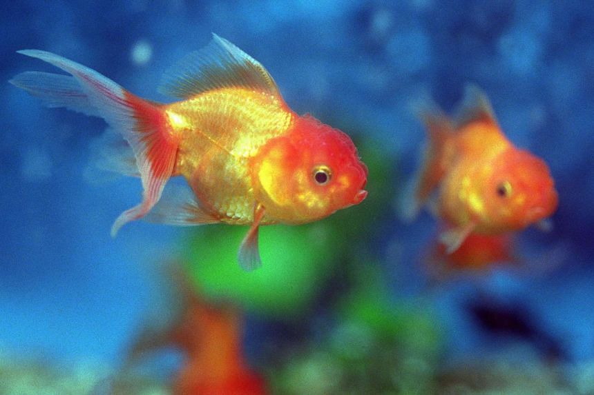 A woman in Fukuoka allegedly forced her daughter to eat more than 30 goldfish.