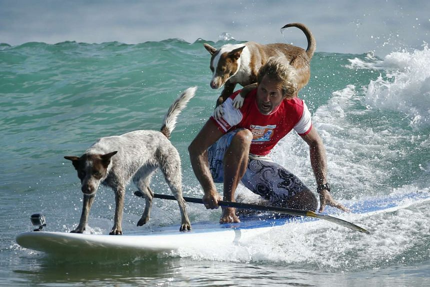 Australian dog trainer and former surfing champion Chris de Aboitiz rides a wave with his dogs Millie (left) and Rama off Sydney's Palm Beach.