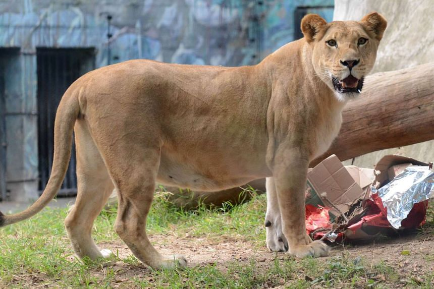 At least two lionesses are reported to have left the park.