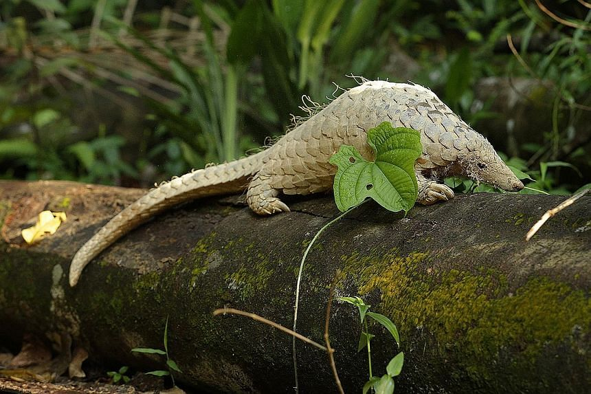 Pangolins help control the termite populations in forests and also help aerate the soil when they dig for food or create burrows. Of the eight species of pangolin found worldwide, the Sunda pangolin is the only one that can be found here.