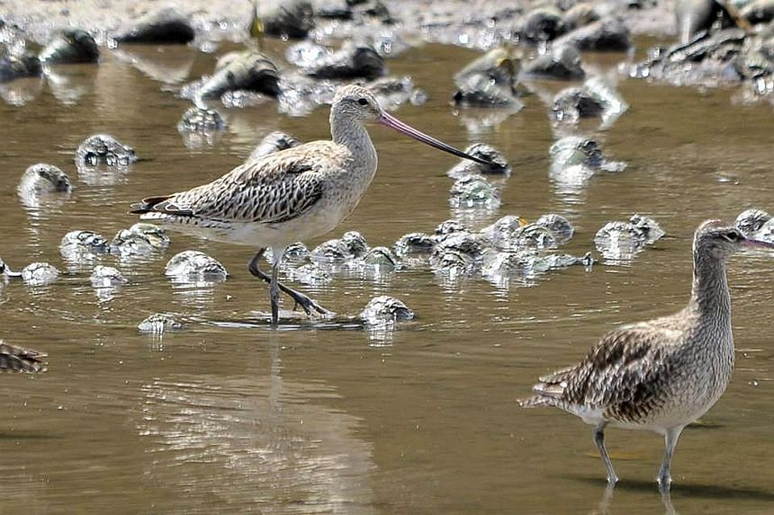 Godwits are able to travel 11,000km non-stop in less than nine days.