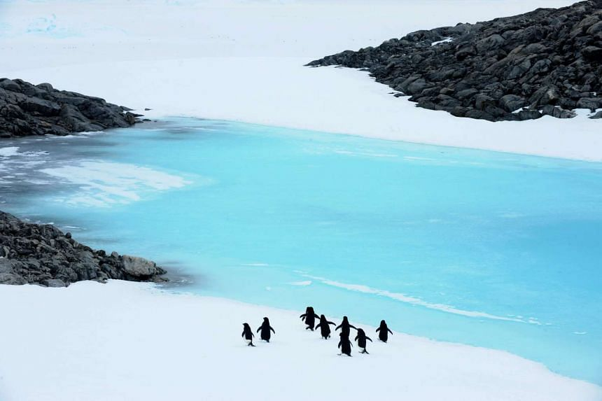 Adelie penguins making their way towards Blue Lake near Mawson's Hut in Commonwealth Bay, Antarctica