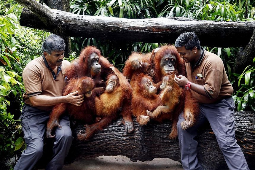 Zookeepers Alagappasamy Chellaiyah (left) and Kumaran Sesshe with five of Ah Meng's six descendants who are in the running to be her successor at the Singapore Zoo. They are (from third left) granddaughters Endah and Ishta, and great-grandson Putra.