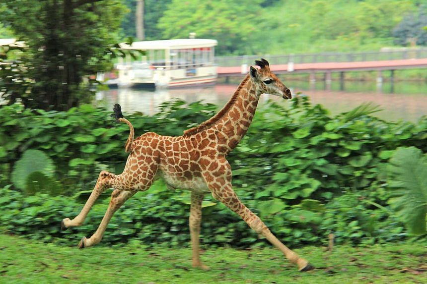 Jubilee, the Singapore Zoo's first giraffe calf in 28 years, was born on Aug 31, 2015.