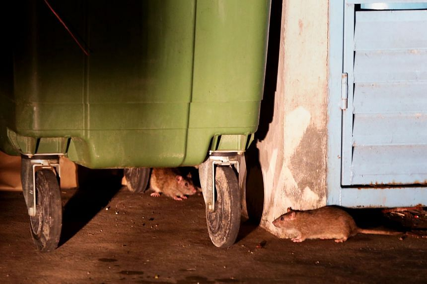 Rats spotted at a rubbish collection point in Bukit Batok. Two incidents - that of a rat infestation near Bukit Batok MRT in 2014 and the discovery of a dead rat in a dish at a Chinese restaurant in Marina Square just over a year ago - have made the publi