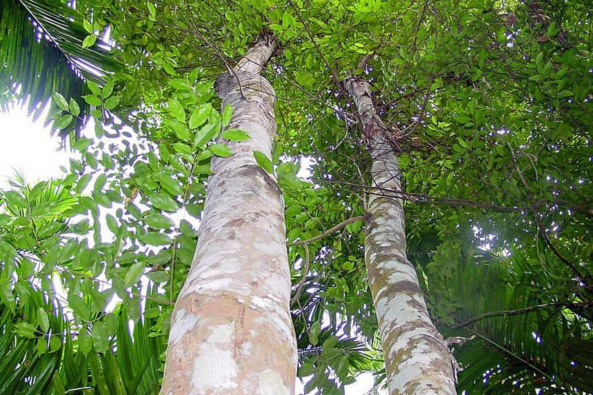 Aquilaria trees are prized for agarwood or oud oil, used in perfumes and spas. Sales agreements typically state a guaranteed return of $400 to $600 for every tola - 11.66g - of agarwood oil harvested. Each tree could potentially yield at least four t