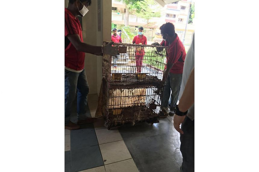 More than 30 cats being kept in filthy cages were removed from the flat at Yishun Street 21.
