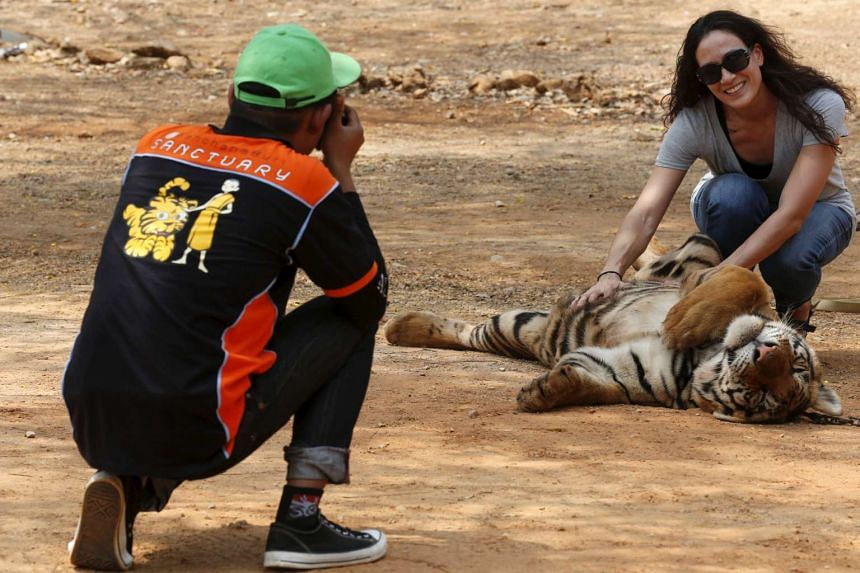 A tourist poses for picture at the Tiger Temple in Kanchanaburi province, west of Bangkok.