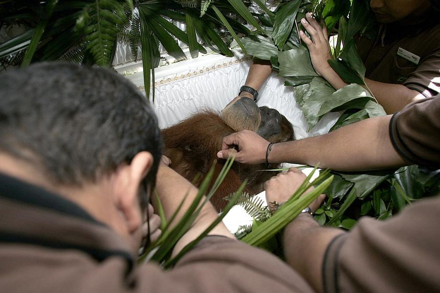 Zookeepers at Ah Meng's memorial service, many of whom sobbed and cried, caressed the grand old dame a final time before the casket lid was brought down on the Sumatran orang utan.