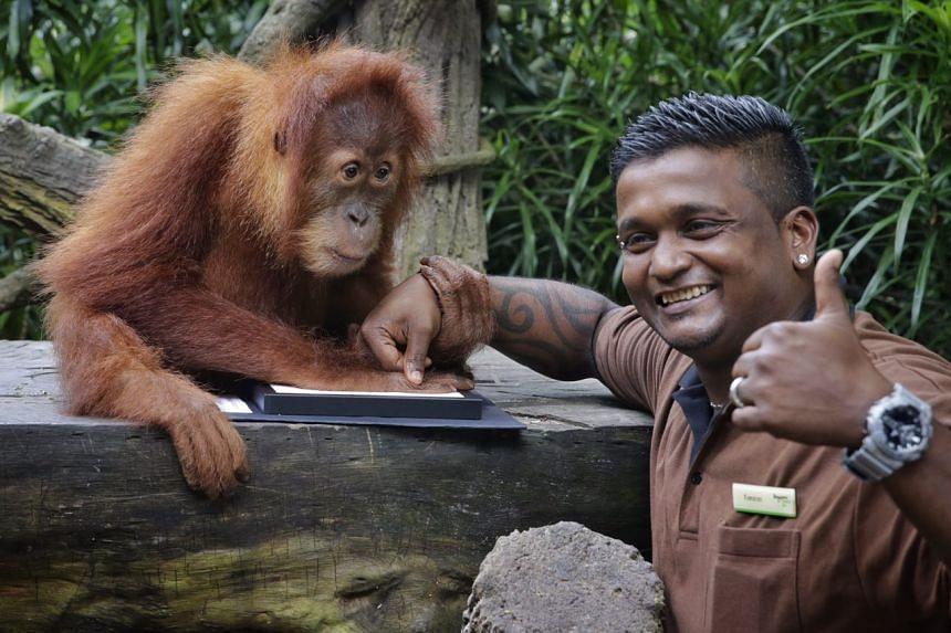 The new Ah Meng, Ishta, with head zookeeper for orang utans, Mr Kumaran Sesshe, in the symbolic handprint ceremony.