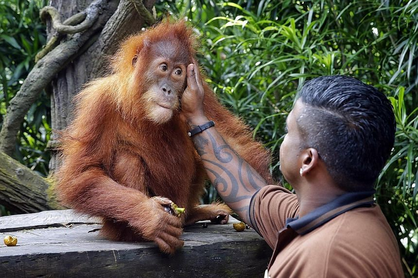 Ishta, the new Ah Meng, getting a pat from Mr Kumaran Sesshe, the head keeper of great apes, who has been training it for the iconic role at the Singapore Zoo. As its first official duty, it will help to flag off the annual Safari Zoo Run today.