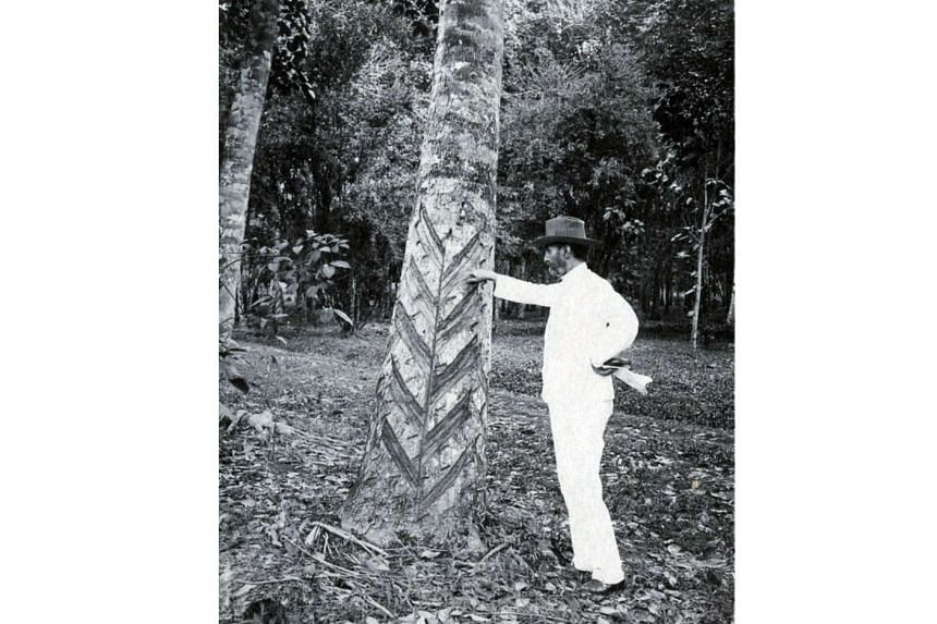Sir Henry Ridley, also known as Mad Ridley, often travelled with rubber seeds in his pocket. He developed the herringbone method of extraction, an incision pattern that allowed tappers to collect larger amounts of sap from a tree without damaging it.
