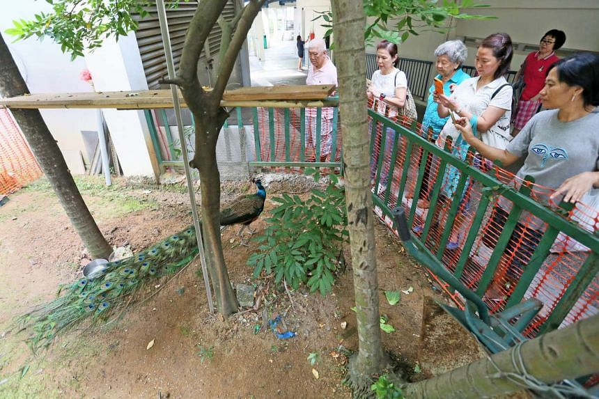 Dover Road residents gather around a peacock at the community garden near Block 23.