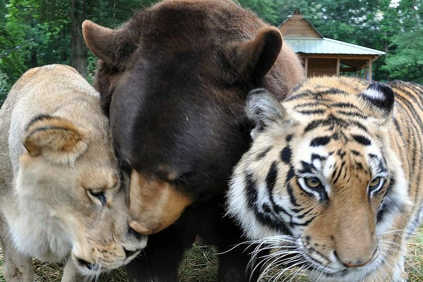 Leo the African lion, Baloo the American black bear and Shere Khan the Bengal tiger eat, sleep and play together at Noah's Ark Animal Sanctuary in Georgia.
