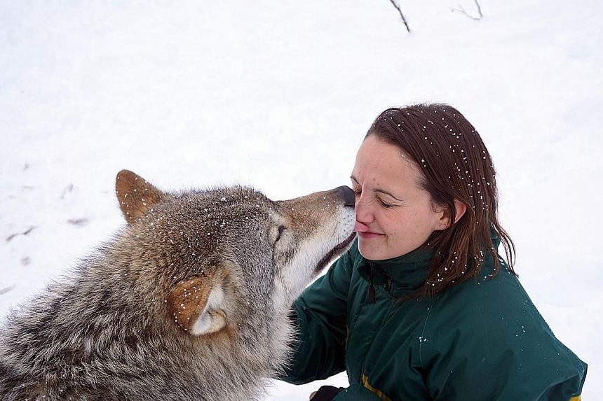Meet wolves face to face at Polar Park, a wildlife park in Norway.