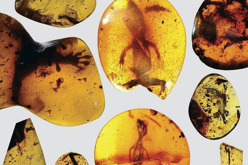 Various lizard specimens preserved in ancient amber found in what is now Myanmar in South-east Asia. The record- setting relic was first found decades ago along with other well-preserved reptile fossils, but it was not until recently that scientists