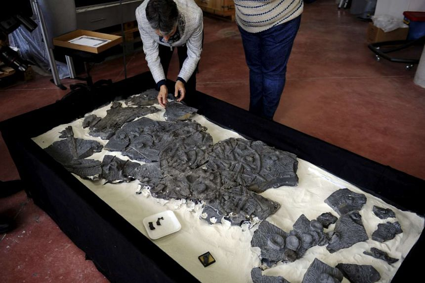A fossil of a Ichthyosaur is seen at the Jurassic Museum of Asturia in Colunga, northern Spain, in this file photo taken on Nov 6, 2015.