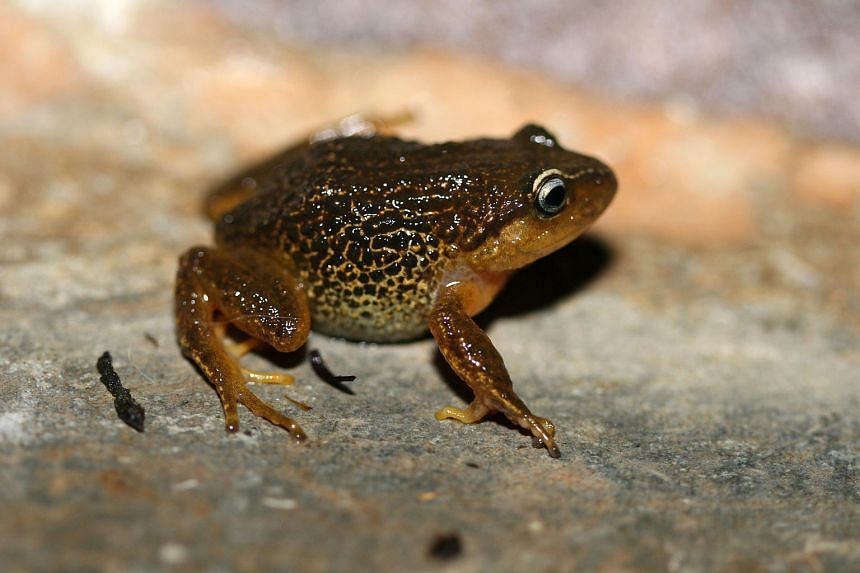 The Pristimantis macrummendozai, a new species of terrestrial frogs with yellow eyebrows.