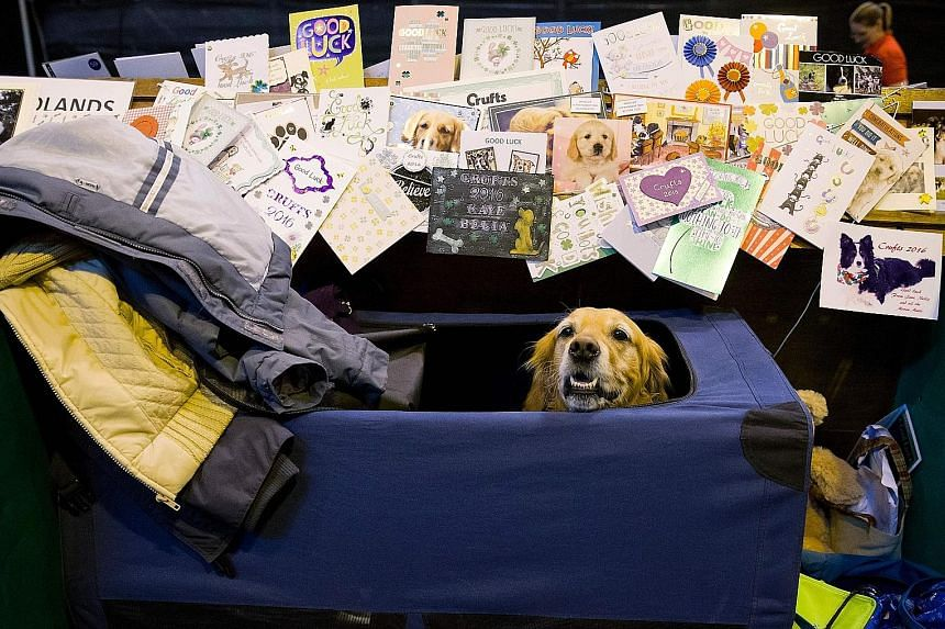 This canine contestant at Crufts, the world's largest dog show, was deluged with cards from well-wishers on Thursday. This year, Crufts is celebrating its 125th anniversary with over 22,000 dogs taking part. Sure to steal the limelight are the 242 Pe