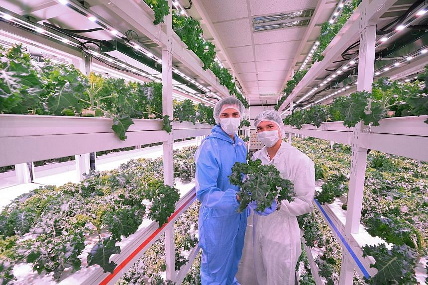 Sustenir Agriculture co-founders Benjamin Swan (top) and Martin Lavoo. Mr Swan (left) and Mr Lavoo showing off the produce from their high-tech vegetable farm in Admiralty. The farm maximises efficiency by growing crops in rows of vertically-stacked