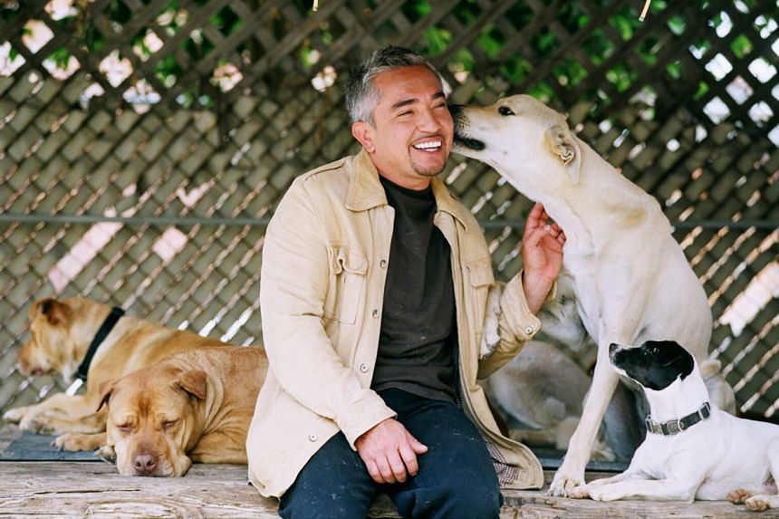 In a show, Cesar Millan used a pig to train a dog, which had killed two pigs in the past. But the dog was seen chasing the pig and nipping its ear, causing it to bleed.