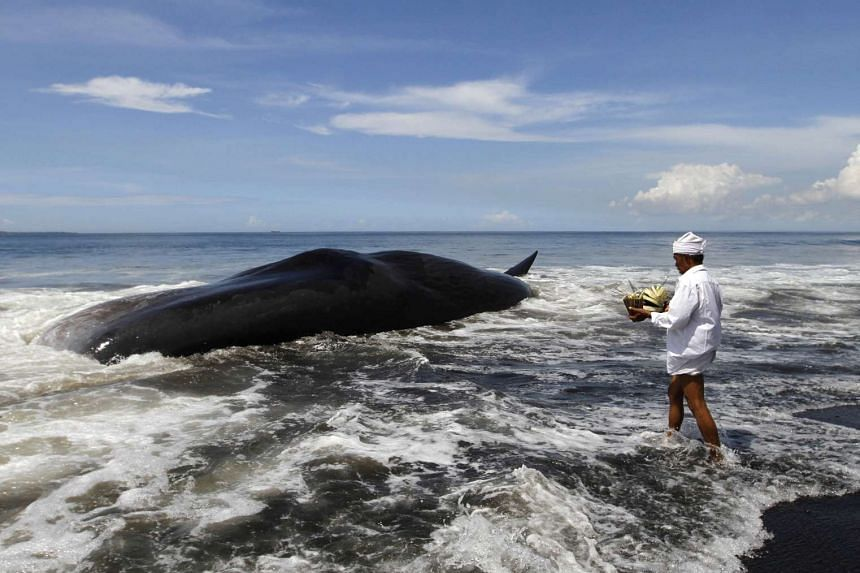 A Balinese Hindu priest makes an offering to a dead sperm whale washed ashore on Batu Tumpeng beach near Denpasar on Bali on March 14, 2016.