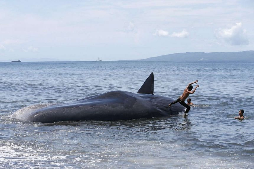 A boy plays on the carcass of a beached sperm whale in Klungkung, Bali, Indonesia on March 14, 2016.