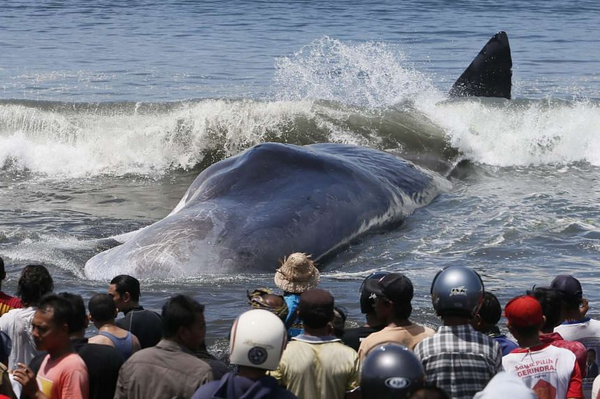 Locals gather around the carcass of a beached sperm whale in Klungkung, Bali, Indonesia on March 14, 2016.