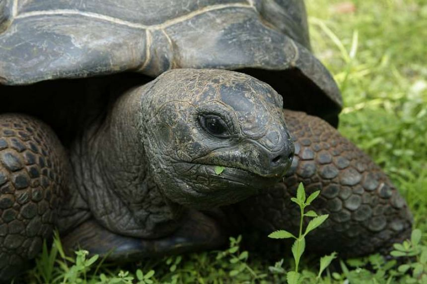 Casela, one of two female Aldabra giant tortoises presented as a gift from Mauritius to Singapore.