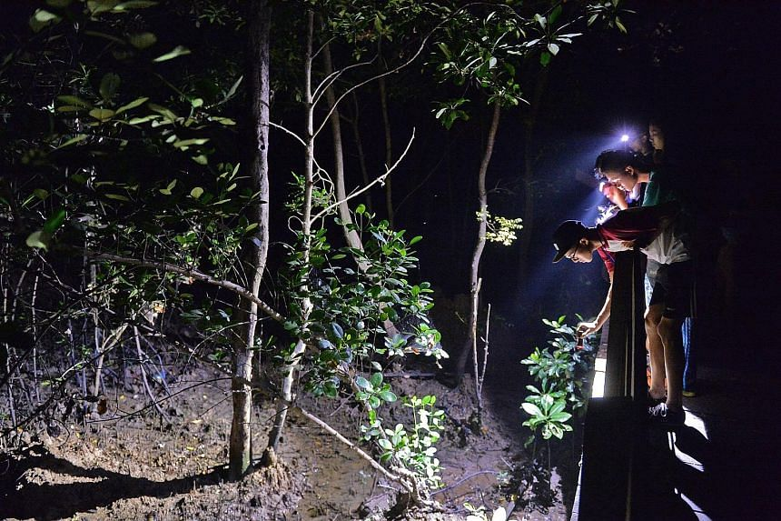Researchers looking for animals at the mangroves of Pasir Ris Park at about 6am on March 12. The event at the park was led by researchers and naturalists from institutions such as NUS, NParks and the Nature Society. In total, an estimated 265 species