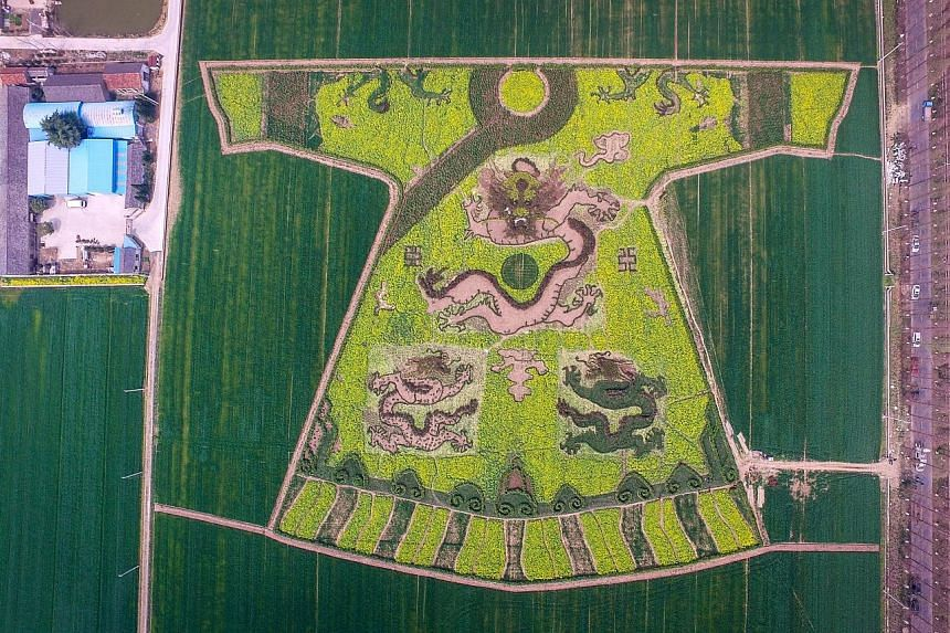 Rapeseed flowers have been used to create an impressive piece of crop art - a replica of an imperial dragon robe, as seen yesterday in suburban Nanjing city in eastern China.