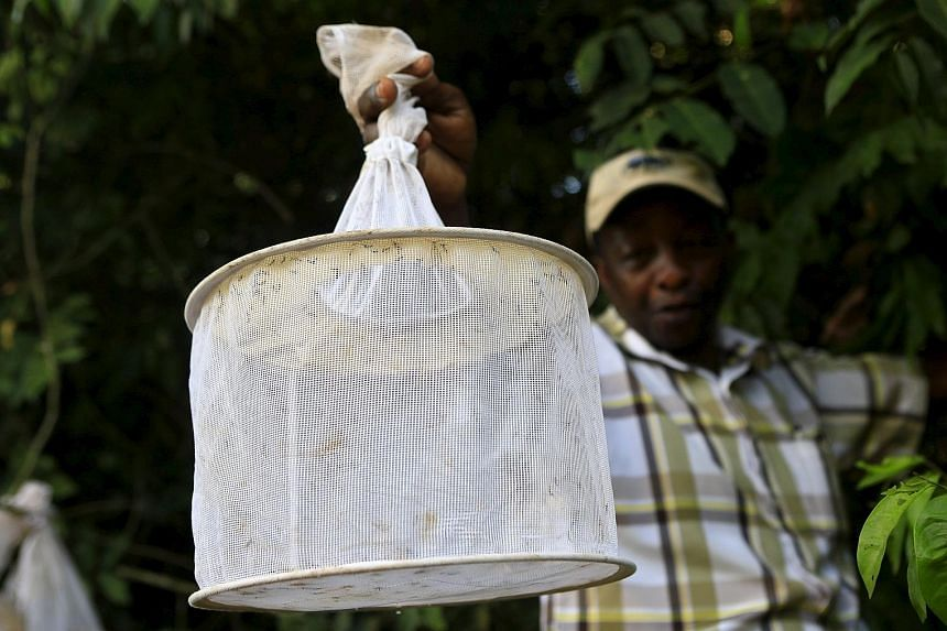 A researcher collecting insect traps in Uganda's Zika Forest, which the Zika virus is named after. Scientists in a new study have calculated that the virus arrived in the Americas between May and December 2013 and concluded that it probably landed in