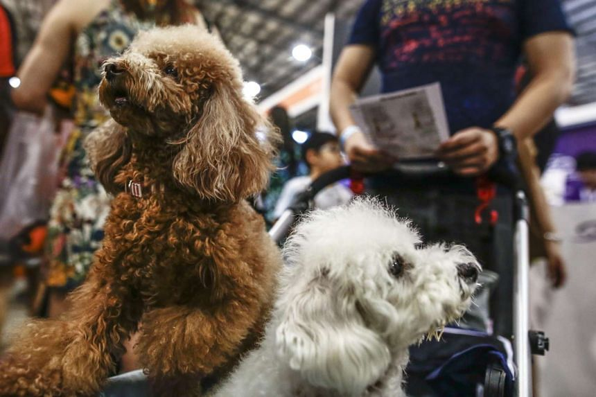 Two poodles pictured in a pram at the Pet Expo 2016 on March 25, 2016.