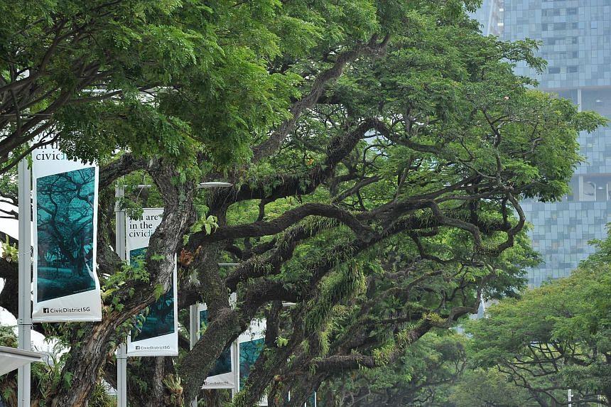 Samanea saman (Rain Tree) at Esplanade Park.