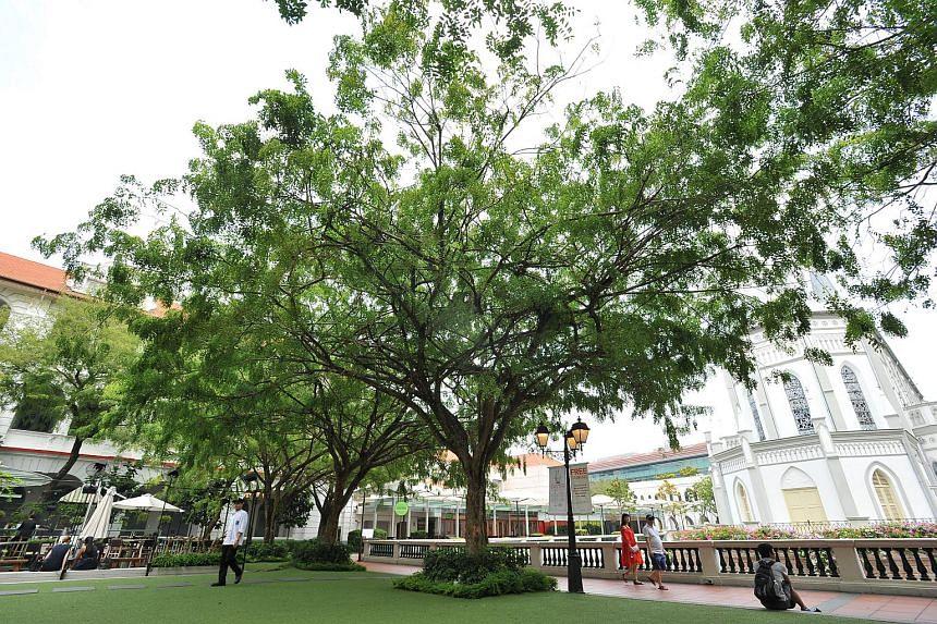 Dalbergia oliveri (Tamalan Tree; Black Rosewood) at CHIJMES.