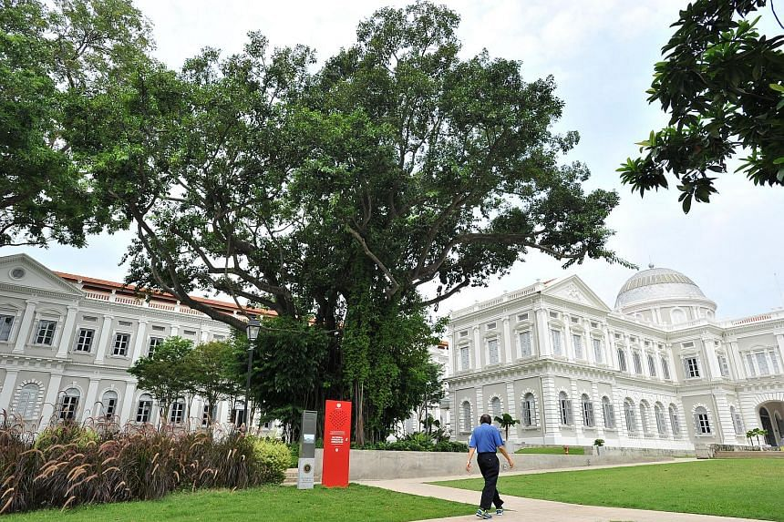 Ficus elastica (Indian Rubber Tree) at National Museum.